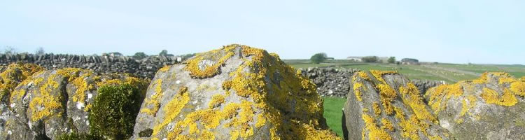 close-up of yellow lichen on a dry stone wall